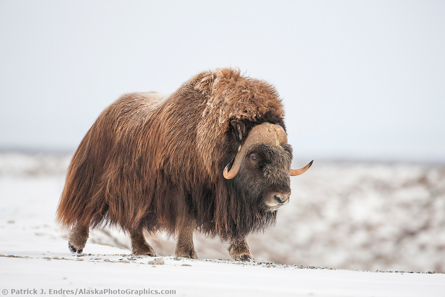 Adult bull muskox walks along the snowy tundra of Alaska's arctic north slope. (Patrick J. Endres / AlaskaPhotoGraphics.com)