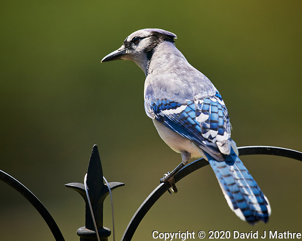 Blue Jay. Image taken with a Nikon D5 camera and 600 mm f/4 VR lens (ISO 560, 600 mm, f/5.6, 1/1250 sec) (DAVID J MATHRE)