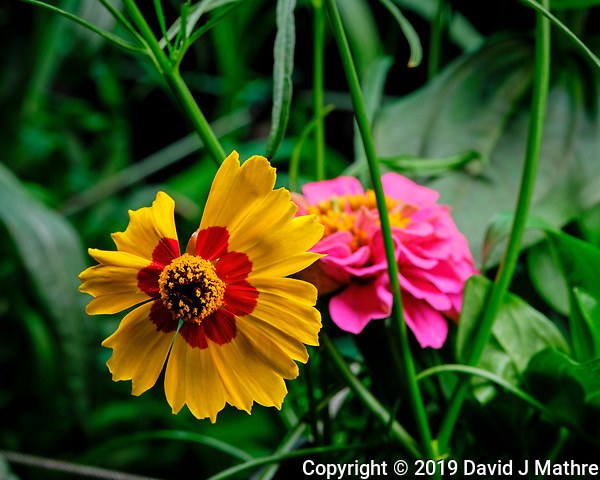 Plains Coreopsis Flower. AeroGarden Farm 04 Left. Fuji X-T3 camera and 80 mm f/2.8 OIS macro lens (ISO 320, 80 mm, f/11, 1/30 sec). (DAVID J MATHRE)