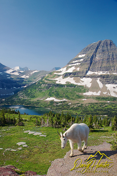 "Mountain Goat, Hidden Lake, Bearhat Mountain, Glacier National Park (© Daryl Hunter's ""The Hole Picture""/Daryl L. Hunter)"