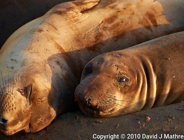 Elephant Seals at Piedras Blancas Beach, Central California Coast. Image taken with a Nikon D3x and 70-300 mm VR lens (ISO 360, 300 mm, f/8, 1/250 sec). (David J Mathre)
