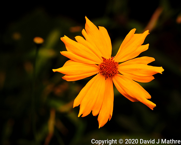 AeroGarden Farm 04-Left. Coreopsis Flower. Image taken with a Fuji X-T3 camera and 80 mm f/2.8 macro lens (ISO 200, 80 mm, f/11, 1/60 sec) (DAVID J MATHRE)