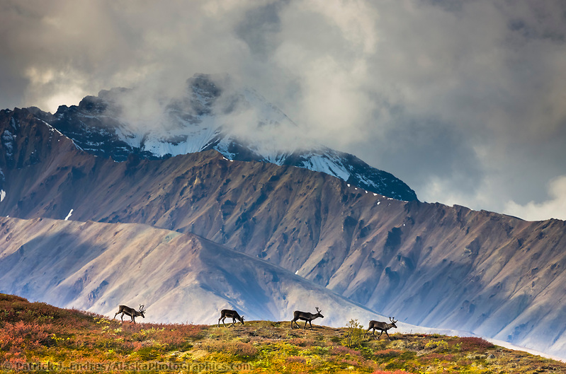 Bull caribou travel across a mountain ridge in the Alaska Range mountains, Denali National Park, Interior, Alaska. (Patrick J. Endres / AlaskaPhotoGraphics.com)