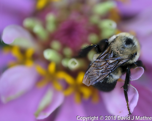 Bumble Bee with Mites on a Zinnia Bloom. Focus stacked composite of 25 images taken with a Fuji X-H1 camera and 80 mm f/2.8 macro lens (ISO 200, 80 mm, f/2.8, 1/250 sec). Images processed with Helicon Focus. (DAVID J MATHRE)