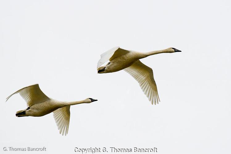 A pair of Tundra Swans fly from a feeding area. (G. Thomas Bancroft)