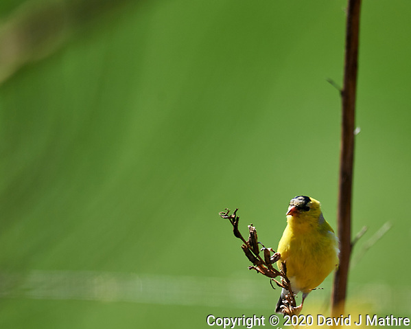 American Goldfinch. Image taken with a Nikon D5 camera and 600 mm f/4 VR lens (ISO 250, 600 mm, f/4, 1/1250 sec). (DAVID J MATHRE)