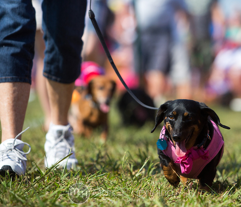 """Photo by Marc F. Henning The 7th annual """"Wiener Takes All"""" Arkansas State Championship Dachshund Races at the Bella Vista Hay Days in Bella Vista, Ark. (MARC F. HENNING/MARC F. HENNING PHOTOGRAPHY)"""