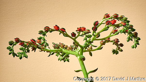 Succulent plant with a stalk and small red flowers. [Semlpervivum, Hen & Chicks?] Image taken with a Nikon D810a camera and 105 mm f/2.8 VR macro (ISO 200, 105 mm, f/16, 1 sec). Raw image processed with Capture One Pro. (David J Mathre)