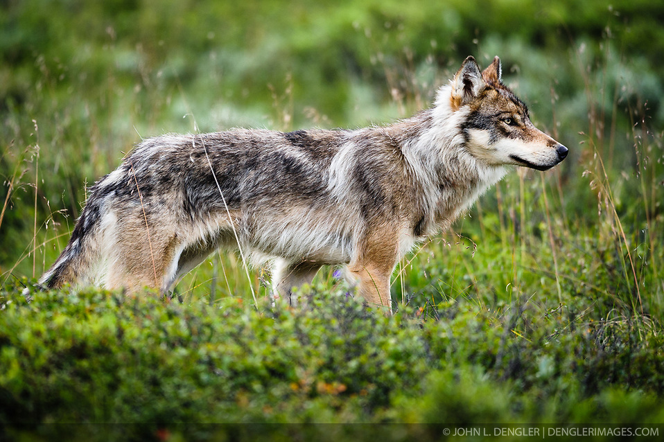 An adult member of the Grant Creek wolf pack travels with the rest of the adult members of the pack near Stony Creek in Denali National Park and Preserve in Alaska.. (John L. Dengler)