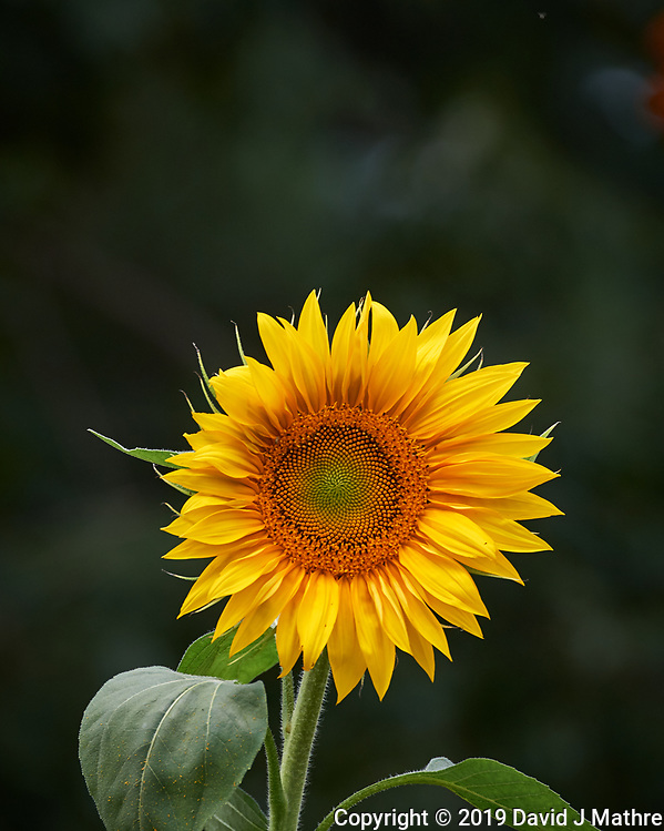 Sunflower. Image taken with a Nikon D5 camera and 80-400 mm VRII lens (ISO 400, 400 mm, f/8, 1/800 sec). (DAVID J MATHRE)