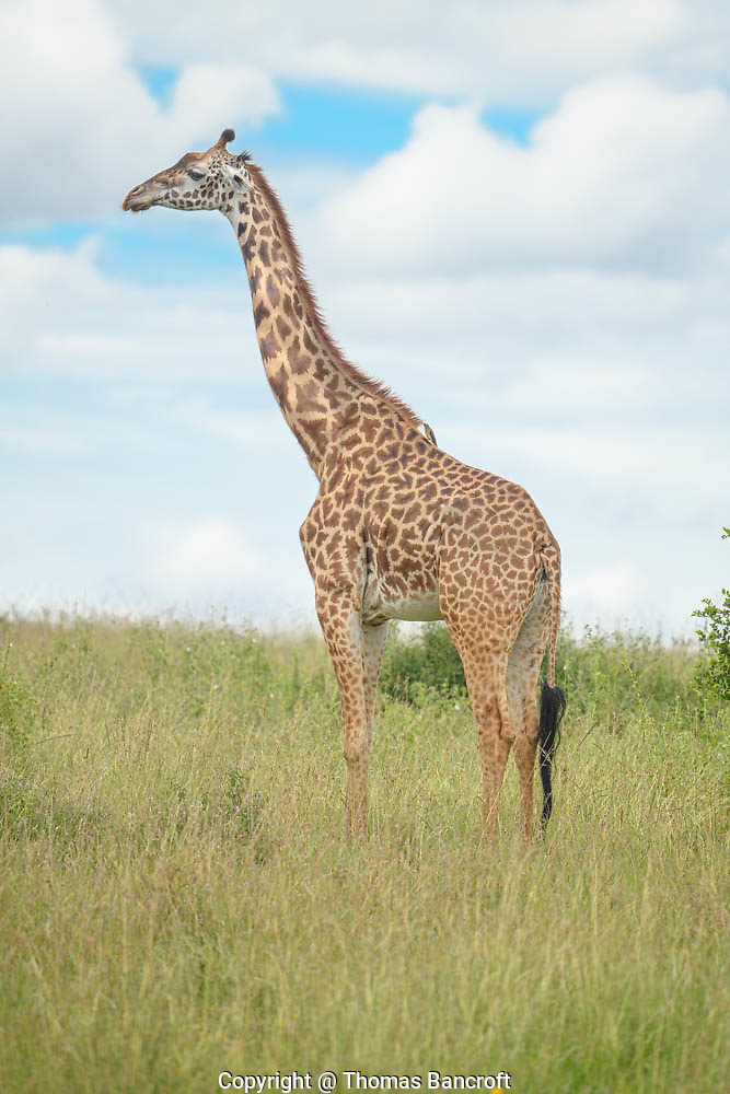 The Giraffe stood tall, gazing into the distance. She projected a sense of grace, elegance beyond what I expected. Her 16 feet was impressive. (Thomas Bancroft)