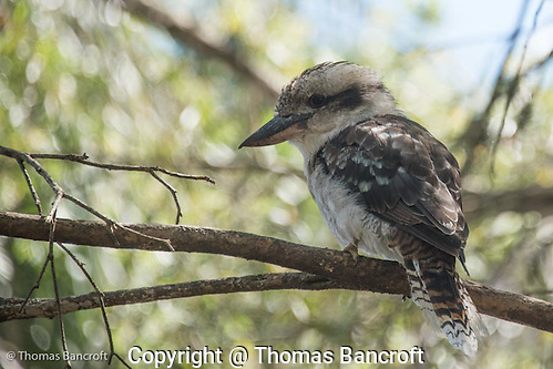 Laughing Kookaburra: a Stunning Member of the Kingfisher Family