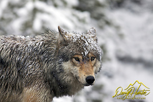 Grey snow covered Wolf, Yellowstone National Park (© Daryl L. Hunter - The Hole Picture/Daryl L. Hunter)