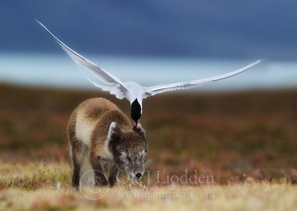 Arctic Fox in Spitsbergen, Svalbard (Ole Jørgen Liodden)