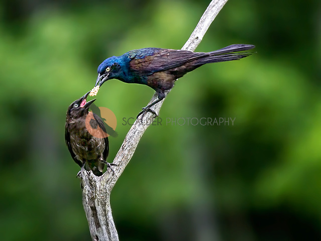 Common Grackle feeding young grackle with food passing between adult and young (Sandra Calderbank, sandra calderbank)