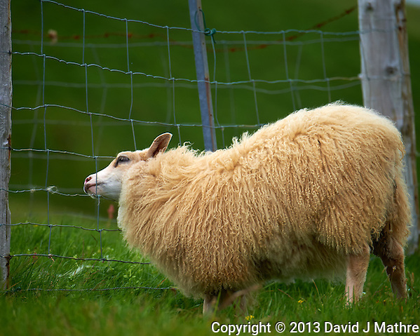The Grass is Always Greener on the Other Side of the Fence. Icelandic Sheep Attempting to get its head through the fence on the summer pastures in Vestmannaeyjar, Iceland. I think the fence was to keep the sheep from the Puffin Nests. Image taken with a Nikon D4 camera and 80-400 mm VRII lens (ISO 800, 400 mm, f/5.6, 1/160 sec). Nikonians Academy Iceland Photo Adventure Tour. (David J Mathre)
