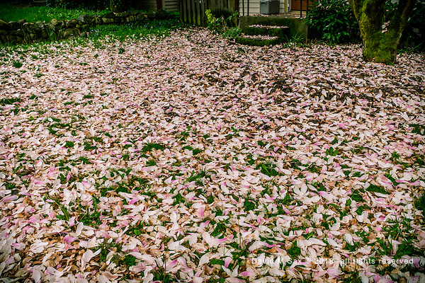 4.13.18 - Petal Carpet... (© David M Sax 2018 - all rights reserved)