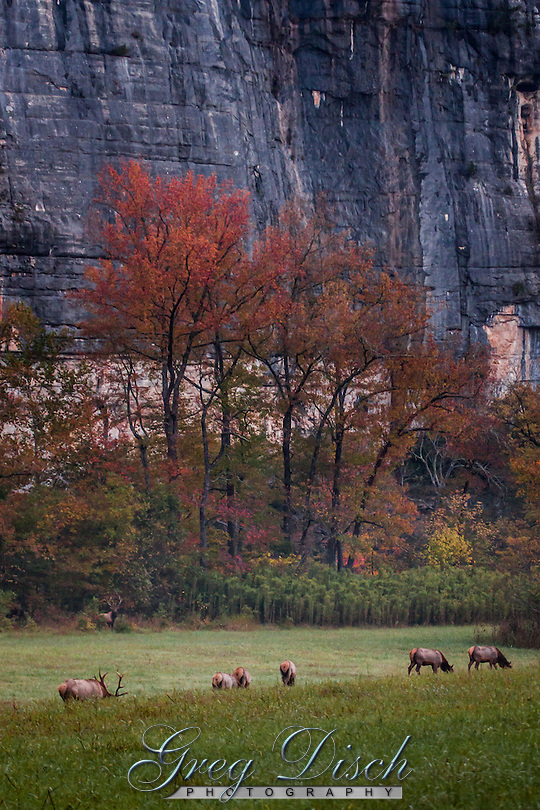 Arkansas bull elk watching over his herd at Steel Creek campground on the Buffalo National River in the fall during the rut or mating season. (Greg Disch gdisch@gregdisch.com)