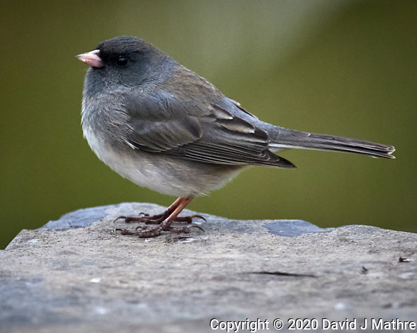 Dark-eyed Junco. Image taken with a Nikon D5 camera and 600 mm f/4 VR lens (ISO 1600, 600 mm, f/5.6, 1/100 sec) (DAVID J MATHRE)