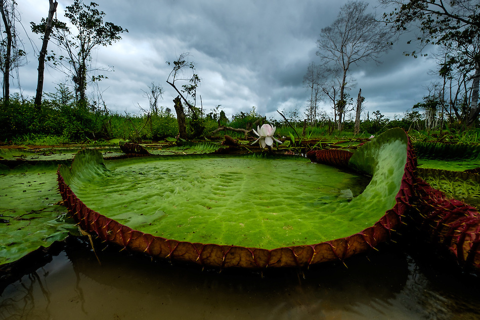 LORETO, PERU - CIRCA OCTOBER 2015: Water Lilies in the Peruvian Amazon (Daniel Korzeniewski)