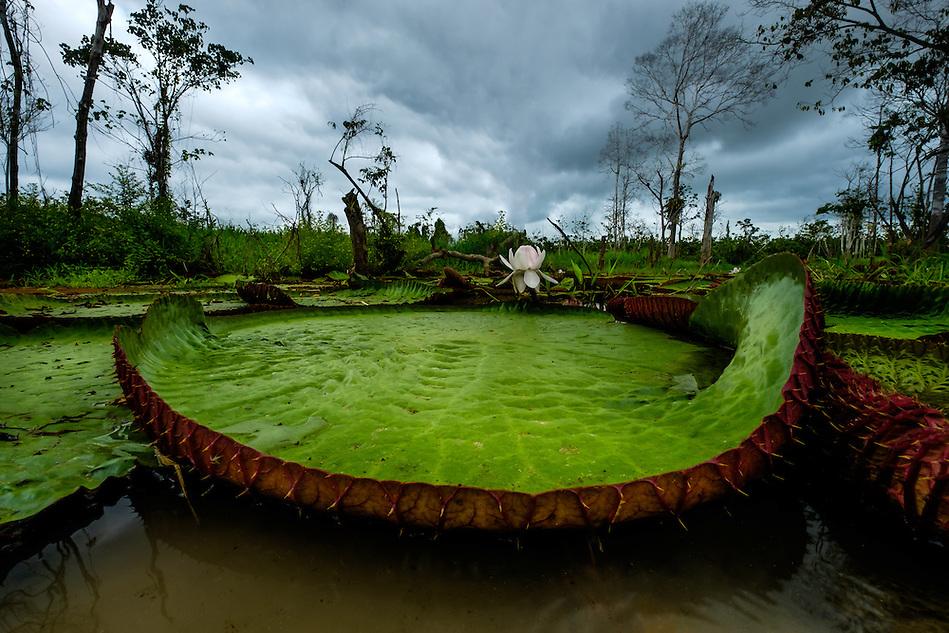 LORETO, PERU - CIRCA OCTOBER 2015: Water Lilies in the Peruvian Amazon (Daniel Korzeniewski)
