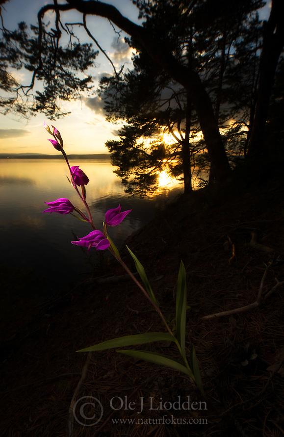 Red Helleborine (Cephalanthera rubra) in Norway (Ole Jørgen Liodden)