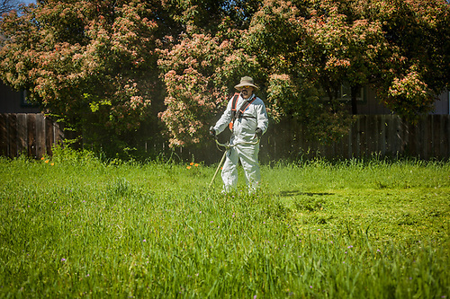 Juan cuts down a crop of weeds on an empty lot on School Street in Calistoga (Clark James Mishler)