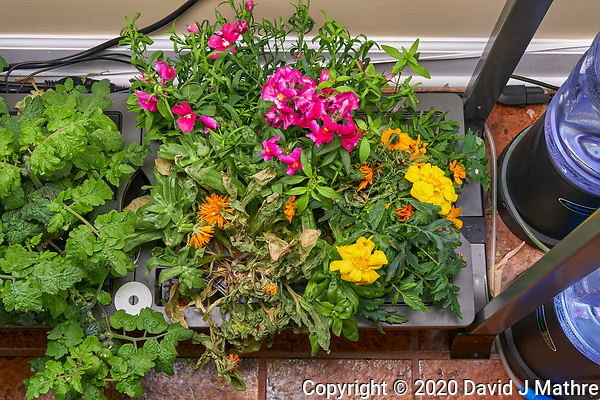 AeroGarden Farm 01-Right. Flowers: Dianthus, Snapdragon, Marigold, Calendula (109 days). Image taken with a Leica TL-2 camera and 35 mm f/1.4 lens (ISO 500, 35 mm, f/8, 1/50 sec). (DAVID J MATHRE)