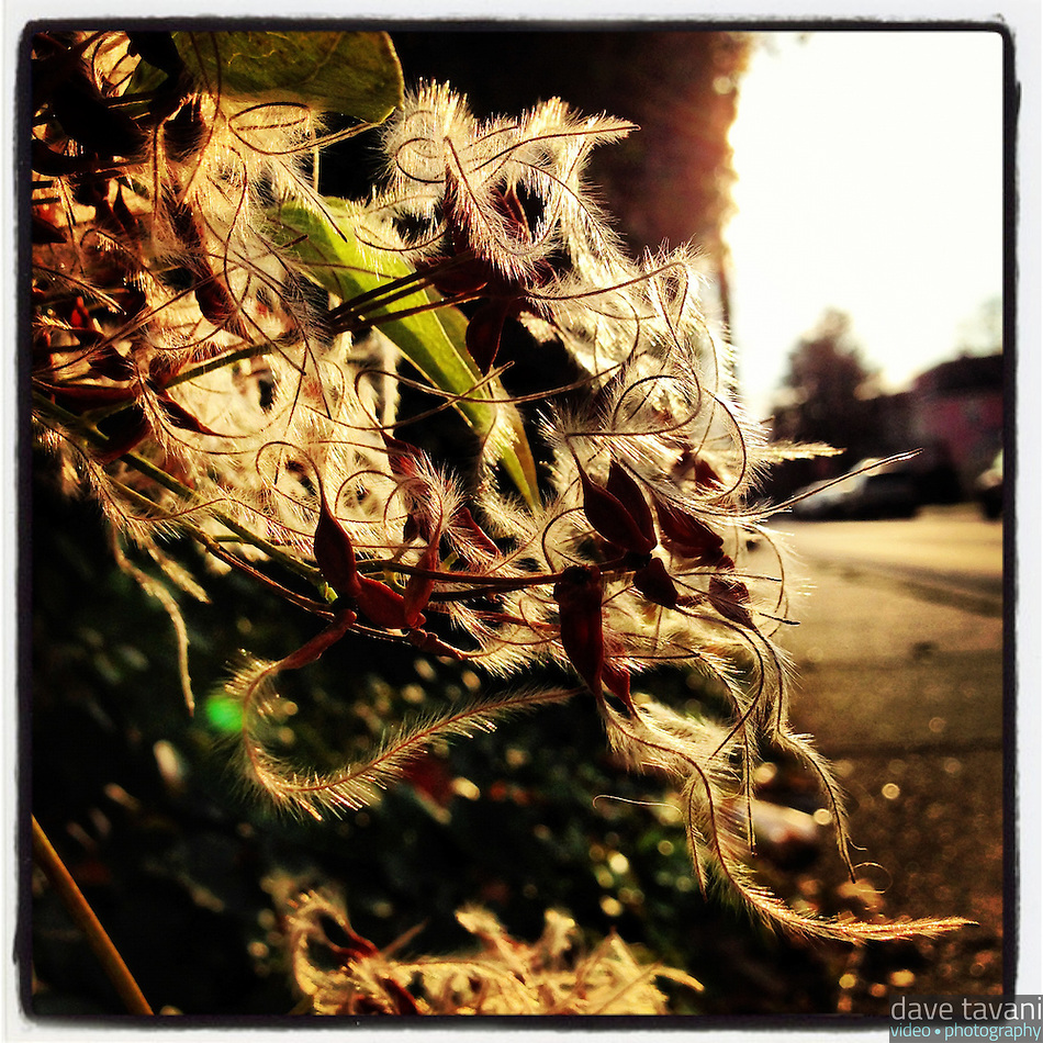 The sun illuminates the fuzzy seeds of Clematis virginiana along Duval Street in the Germantown secton of Philadelphia on December 2, 2012. (Dave Tavani)