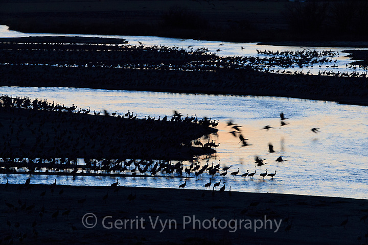 Sandhill Cranes (Grus canadensis) roosting in the Platte River during their northward spring migration. Central Nebraska. March. (Gerrit Vyn)