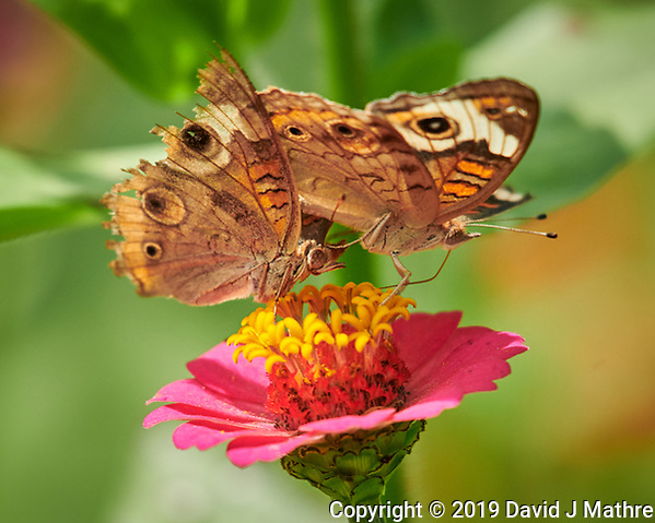 Pair of Frisky Common Buckeye Butterflies on a Zinnia Flower. Male with the tattered wings being rejected. Image taken with a Nikon D850 camera and 200-500 mm f/5.6 VR lens (ISO 560, 500 mm, f/5.6, 1/1000 sec). (DAVID J MATHRE)