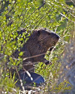 "Beaver, Grand Teton National Park, Wyoming (Daryl Hunter's ""The Hole Picture""/Daryl L. Hunter)"
