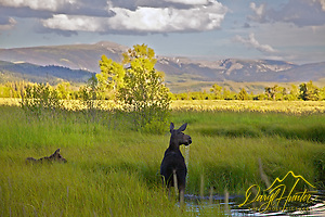 Cow and Calf Moose, alert, meadow, pond, Grand Teton National Park