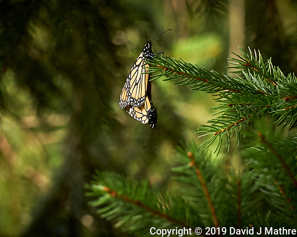 Pair of Monarch Butterflies Mating. Image taken with a Leica CL camera and 55-135 mm lens (DAVID J MATHRE)