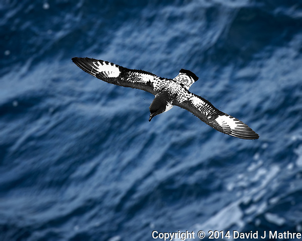 Cape Petrel in Flight from the Deck of the MS Fram. These birds flew along the ship during most of the voyage. This image was taken before the shutter on my Nikon Df died (ISO 800, 400 mm, f/5.6, 1/2000 sec). Raw image processed with Capture One Pro, Focus Magic, and Photoshop CC. (David J Mathre)
