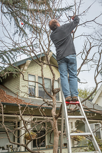"""I believe this is an important tree in our front yard. I prune it because it makes our house look good."" -Stephan Hawks works on his persimmon tree on Cedar Street in Calistoga. s_hawks@sbcglobal.net (Clark James Mishler)"