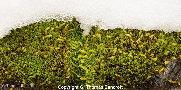 Moss clung along a boulder and snow field. (G. Thomas Bancroft)