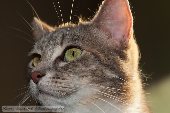 Lucca peers off into the distance while being backlit by the setting sun.  I love her mostly-closed pupils in her green eyes, and the highlighted whiskers (both nose and eyebrow).  If you look closely, you can even see her eyelashes :) (Marc C. Perkins)