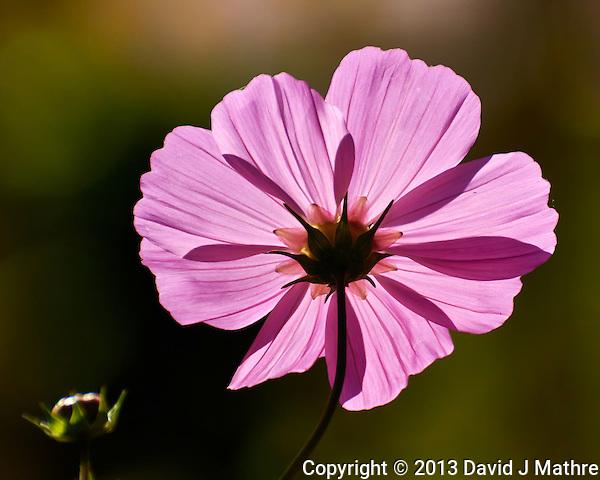 Backlit Summer Bloom. Slide Rock State Park, Arizona. Image taken with a Nikon 1 V2 camera, FT1 adapter, and 80-400 mm VRII lens (ISO 160, 220 mm, f/5.6, 1/2000 sec). (David J Mathre)