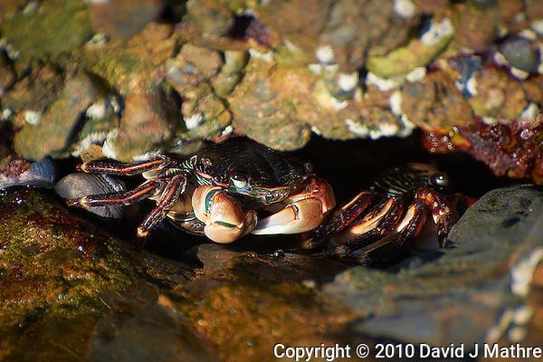 Crabs in Big Sur, Central Coast California. Image taken with a Nikon D3s and 70-300 mm VR lens (ISO 200, 300 mm, f/5.6, 1/200 sec) (David J Mathre)