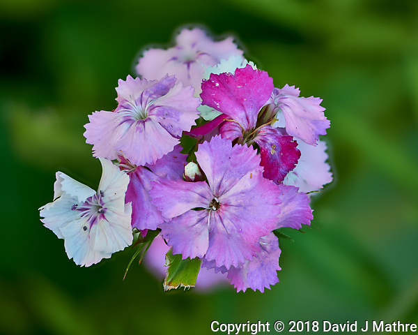 Dianthus flower cluster. Composite of 50 focus stacked Image taken with a Fuji X-H1 camera and 80 mm f/2.8 macro lens (ISO 200, 80 mm, f/2.8, 1/125 sec). Raw images processed with Capture One Pro and Helicon Focus. (DAVID J MATHRE)