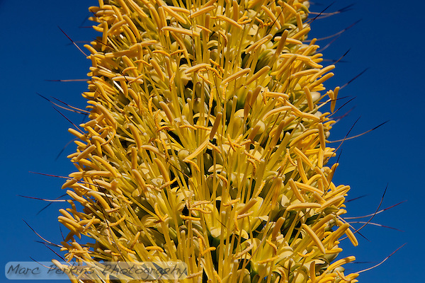 A flowering Agave on Orange Coast College's campus strives for the attention of pollinators (and photographers).  I love the contrast of the yellow flowers on the blue sky.  Agave vilmoriniana, octopus agave. (Marc C. Perkins)