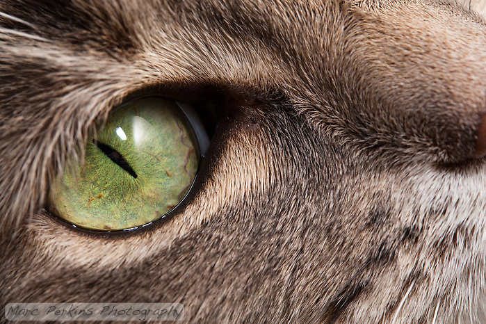 A closeup of the green eye of a blue patched tabby and white shorthair house cat.  The depth of field is a bit shallow, but a large portion of her eye and the fur around her eye are in focus. (Marc C. Perkins)