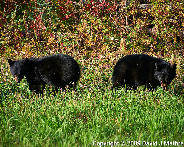 Pair of Black Bear cubs alongside the Alaska-Canada Highway. Image taken with a Nikon D700 camera and 70-300 mm f/4 lens (ISO 200, 300 mm, f/7, 1/200 sec). (David J Mathre)