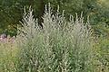 Gewöhnlicher Beifuß, Beifuss, Artemisia vulgaris, Mugwort (Frank Hecker)