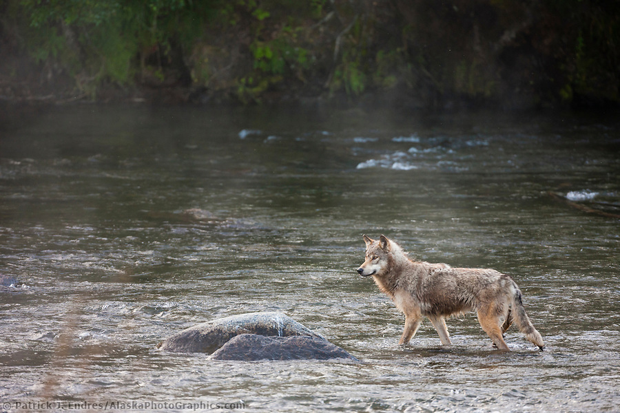 Gray wolf in the Brooks river, Katmai National Park, southwest, Alaska. (Patrick J. Endres / AlaskaPhotoGraphics.com)