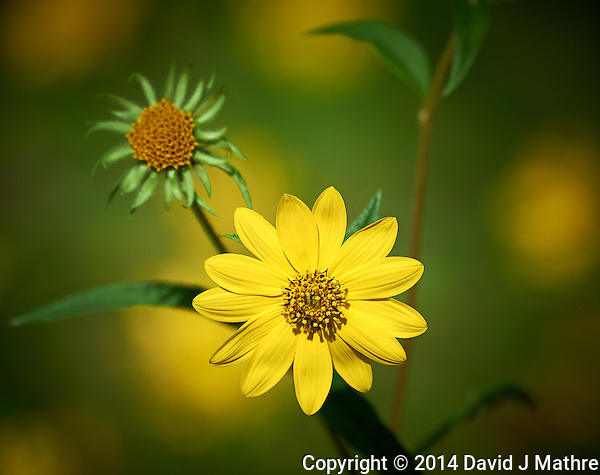 Late Summer Yellow Wildflowers at the Sourland Mountain Preserve in New Jersey. Image taken with a Nikon D3s camera and 80-400 mm VR II lens (ISO 400, 400 mm, f/5.6, 1/2000 sec). Raw image processed with Capture One Pro, Focus Magic and Photoshop CC 2104. (David J Mathre)