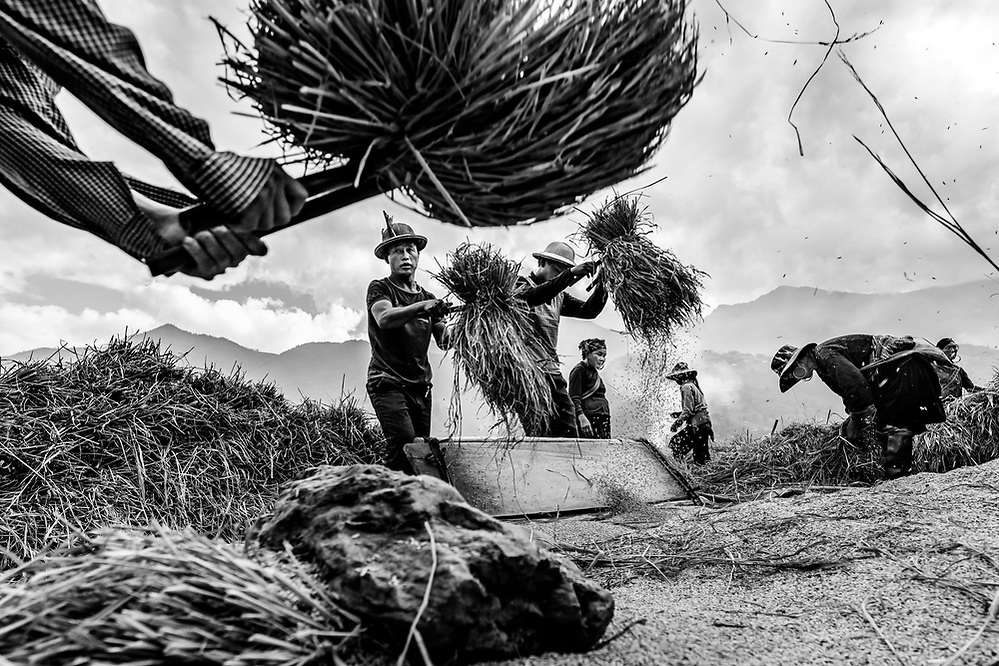 Harvesting rice by hand can be a violent sport! Near Ta Van, Lao Cai, if I remember right. (Quinn Ryan Mattingly)