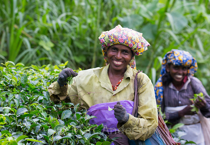 Smiling woman picking tea in a tea plantation, Sri Lanka (Marc Anderson)
