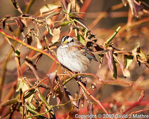 White-throated Sparrow. Image taken with a Nikon D3x camera and 400 mm f/2.8 lens (ISO 320, 400 mm, f/4, 1/1000 sec). (David J Mathre)